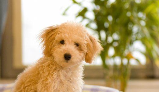 独身女性の一人暮らしが犬を飼うことはリスクが高い!